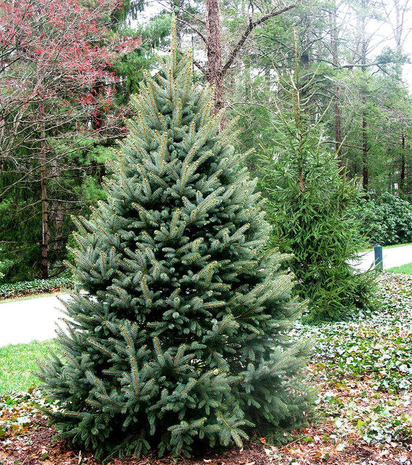 Fraser Fir Christmas Trees: Fraser Fir Christmas Trees