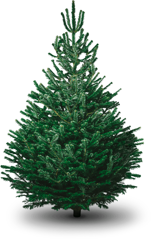 Christmas Tree Png Images.Non Drop Christmas Trees Nordmann Fir Trees Creekside