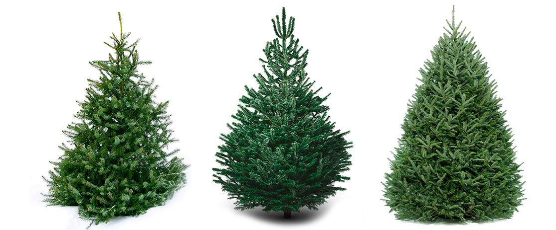 Real Christmas Tree Sizes